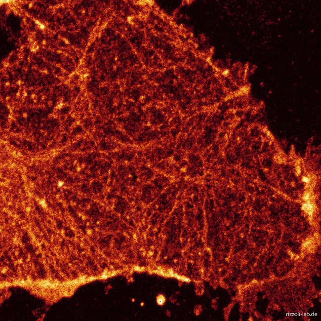 Eucaryotic-cell