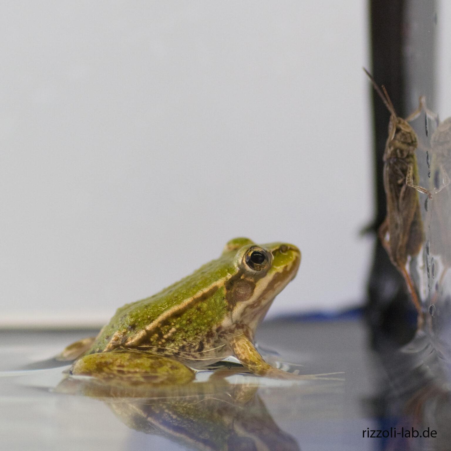 frog+locust